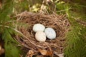 three bird eggs in a nest