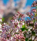 foto of lilac bush  - lilac bush with blossoming flowers sunny day springtime - JPG