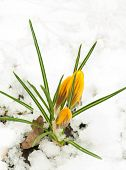 Spring flowers, snowdrops against a fresh grass
