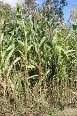 pic of corn stalk  - Purple ear of corn growing on a tall stalk - JPG