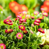 stock photo of pot-bellied  - Bellis red potted spring flowers - JPG
