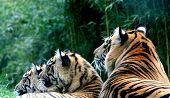 Endangered Species: Tiger