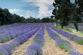 Lavender fields of the Salagon priory in Provence, France
