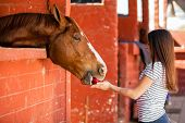 stock photo of feeding horse  - Beautiful young woman feeding an apple to her horse in the stables - JPG