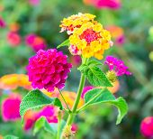 pic of lantana  - Lantana Flowers camara on the blur background - JPG