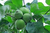 Unripe green quince