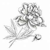 Peony.sketch Black And White