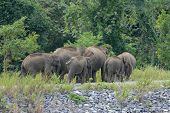 Asian Elephant (elephas Maximus)