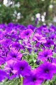 Flower bed of purple flowers