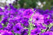 Petunia Blue fantasy
