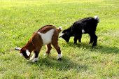 Baby Farm Goats Eating Grass
