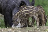 Baby boar feeding