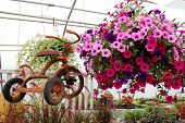 foto of tricycle  - a rusty old vintage tricycle is displayed hanging next to a basket of purple and pink Petunia Flowers in a greenhouse - JPG