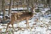 White tail deer in Winter forest
