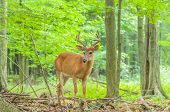 Whitetail Deer Buck In Velvet