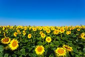 sunflower field on background blue sky