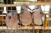 birds in wooden cage