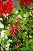 Spent Bottlebrush Flower