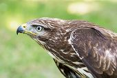 Close Up Of A Golden Eagle (aquila Chrysaetos)
