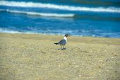 a black headed gull at a local beach