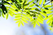 Green spring rowan leaves background