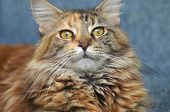 portrait of beautiful young maine coon cat