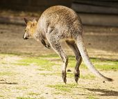 Hopping Wallaby