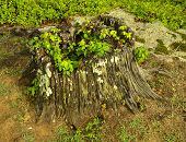 stock photo of lichenes  - Tree stump moss fungus LICHEN molds mildews mushrooms poison ivy Toxicodendron radicans - JPG