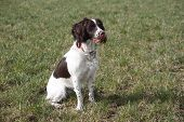 A Working Type English Springer Spaniel Pet Gundog Waiting Patiently On A Shoot poster