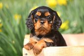 Cavalier King Charles Spaniel sits in rustic wooden wagon
