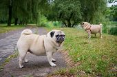 Two Little Pugs Walking Outdoors
