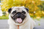 image of pug  - Little funny pug lying on a sidewalk in a summer park - JPG