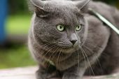 stock photo of portrait british shorthair cat  - angry cat defending his territory british shorthair - JPG