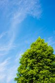 Blue Sky And Tree Of Metasequoia