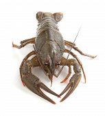 Alive Crawfish
