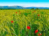 Romanian summer countryside with green fields and wildflowers