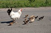 Hen With Chickens Cross The Road