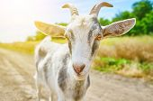 stock photo of baby goat  - goat in the summer outdoors in nature - JPG