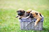 pic of belgian shepherd  - young puppies belgian shepherd malinois in box - JPG