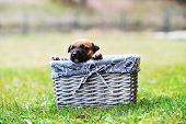 image of belgian shepherd  - young puppy belgian shepherd malinois in box - JPG