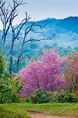 Sakura Flower Blooming Blossom In Pangkhon Mountain Chiang Rai, Thailand