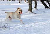 Yellow Labrador In Winter Running With A Ball