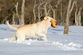 Yellow Labradors In Winter Running With A Toy