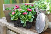 stock photo of pot-bellied  - flowers seedlings pots and garden tools on wooden plank - JPG