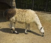 picture of lamas  - Lama glama brown and white colour standing - JPG