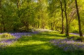 Carpet of bluebell flowers with dappled light