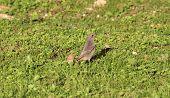 Common Redstart Bird