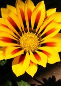 Yellow Sunburst Gazania