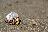 picture of hermit  - A hermit crab is walking on the coast in sand - JPG
