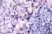 stock photo of hydrangea  - Beautiful blue and pink hydrangeas flower background - JPG